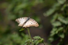 Bunte Schmetterlinge von Brasilien Stockfoto