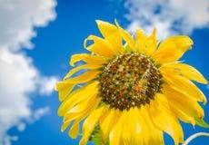 Bunte Sonnenblume mit farbigen Startwerten für Zufallsgenerator Lizenzfreies Stockfoto