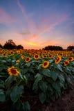 Bunte Sonnenblumen bei Sonnenuntergang Lizenzfreie Stockfotografie