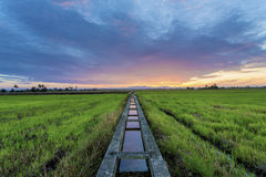 Bunte Sonnenuntergangansicht am Reisfeld Stockfotos