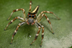 Bunte springende Spinne Stockfotografie