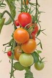 Bunte Tomaten im Garten Lizenzfreies Stockfoto