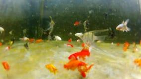 Bunte tropische Unterwasserfische POV - Unterwassergoldfische stock video