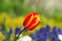 Bunte Tulpe Stockfotografie