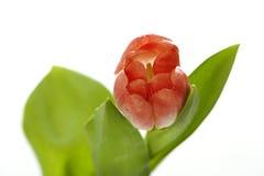 Bunte Tulpe lizenzfreie stockfotografie