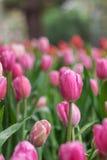 Bunte Tulpe Ausführliche vektorzeichnung Lizenzfreie Stockfotografie