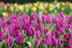 Bunte Tulpe Ausführliche vektorzeichnung Stockfotografie