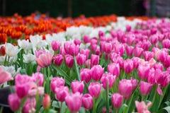 Bunte Tulpe Ausführliche vektorzeichnung Lizenzfreies Stockfoto