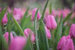 Bunte Tulpe Ausführliche vektorzeichnung Stockfotos