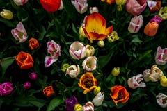 Bunte Tulpe blüht mit schönem Hintergrund auf einer hellen SU lizenzfreie stockfotografie