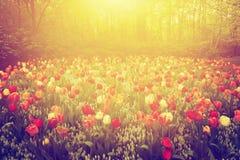 Bunte Tulpe blüht im Garten am sonnigen Tag im Frühjahr Lizenzfreies Stockbild