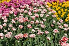 Bunte Tulpen Lizenzfreies Stockfoto