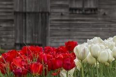 Bunte Tulpen Lizenzfreie Stockbilder