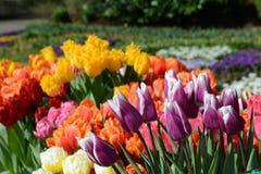 Bunte Tulpen Stockfotos