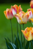 Bunte Tulpen auf unscharfem Hintergrund lizenzfreie stockbilder
