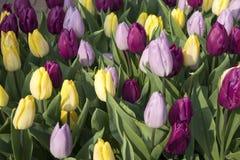 bunte Tulpen bei Bloemenmarkt - sich hin- und herbewegender Blumenmarkt auf Singel-Kanal amsterdam netherlands Stockfoto