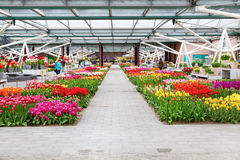Bunte Tulpen blühen im niederländischen Frühlingsgarten Keukenhof, Lisse, die Niederlande Lizenzfreie Stockbilder