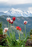 Bunte Tulpen blühen, während ein Sturm über Kaschmir-Berg sich bewegt, Washington, US Lizenzfreie Stockbilder
