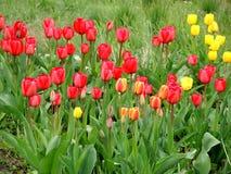 Bunte Tulpen der Blüte im Frühjahr Stockbilder