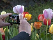 Fotografieren der Tulpen mit einer Taschenkamera Lizenzfreies Stockfoto