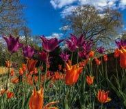 Bunte Tulpen, die völlig an einem sonnigen Tag blühen Stockbilder