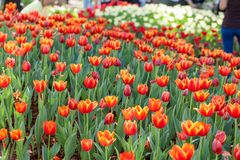 Bunte Tulpen gepflanzt in den Gartendekorationen Lizenzfreie Stockbilder