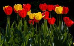 Bunte Tulpen im Frühjahr Stockbilder