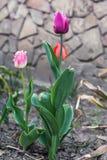 Bunte Tulpen stockbilder