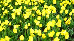 Bunte Tulpen in Istanbul stock video