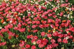 Bunte Tulpen und bunte Blumen Lizenzfreie Stockfotos