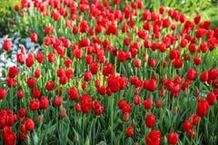 Bunte Tulpen und bunte Blumen Lizenzfreies Stockbild