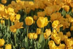 Bunte Tulpen und bunte Blumen Lizenzfreie Stockfotografie