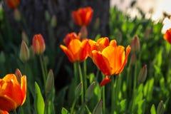 Bunte Tulpen und bunte Blumen Lizenzfreie Stockbilder