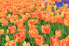 Bunte Tulpenblume und grünes Blatt im Garten Stockbilder