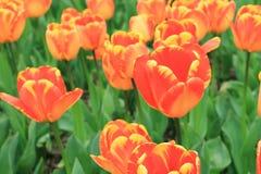 Bunte Tulpenblume und grünes Blatt im Garten Lizenzfreies Stockfoto