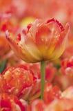 Bunte Tulpenblumen in Polen Stockfotografie