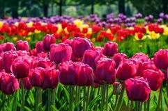 Bunte Tulpenblumen am sonnigen Tag des Frühlinges Stockbild