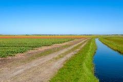 Bunte Tulpenfelder gerade hinter den Dünen auf der Insel von Tex stockbilder