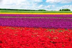 Bunte Tulpenfeldreihen während des sonnigen Tages Lizenzfreies Stockbild