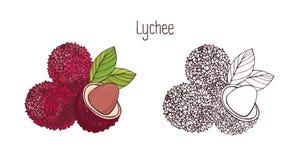 Bunte und einfarbige botanische Zeichnungen der ganzen und geschnittenen Litschi lokalisiert auf weißem Hintergrund Bündel von or stock abbildung