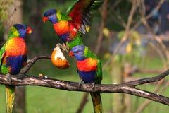 Bunte Vögel, die für Nahrung kämpfen Stockfotografie