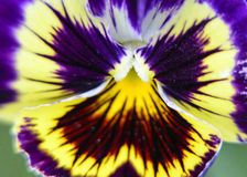 Bunte Violaschmetterlingsblume Stockfotografie