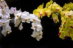 Bunte weiße und gelbe Orchideen lizenzfreie stockbilder