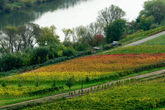 Bunte Weinfelder stockfotos