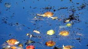 Bunte wilde Äpfel gefallen in Stauwasser im Herbstwald lizenzfreie stockfotos