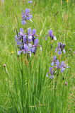 Bunte wilde Iris blüht auf einer grünen Wiese im Frühsommer in Slowakei Lizenzfreies Stockfoto