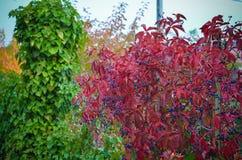 Bunte wilde Trauben im Herbst Lizenzfreies Stockbild