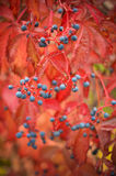 Bunte wilde Trauben im Herbst Lizenzfreie Stockfotos