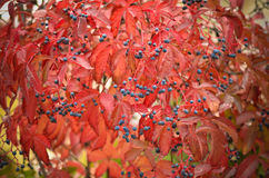 Bunte wilde Trauben im Herbst Lizenzfreie Stockbilder