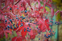Bunte wilde Trauben im Herbst Lizenzfreie Stockfotografie